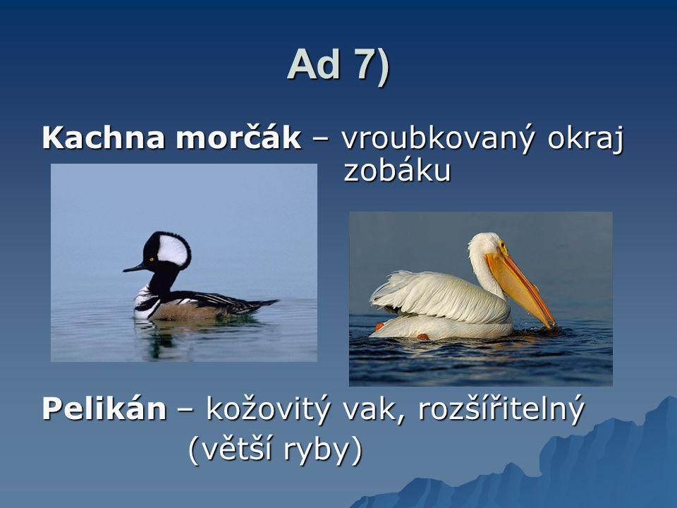 Ad 7) Kachna morčák – vroubkovaný okraj zobáku