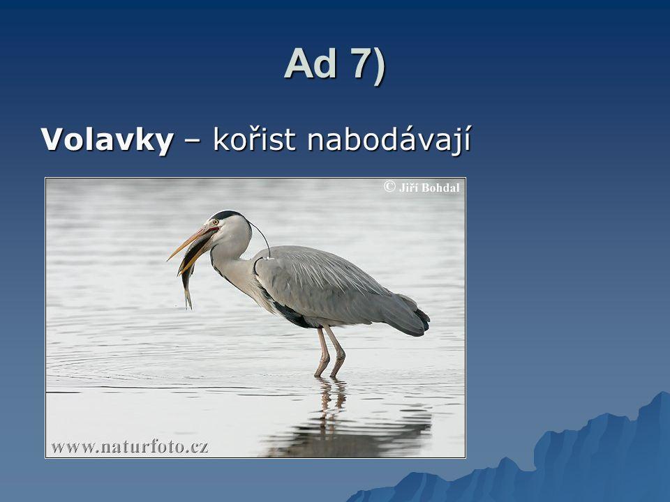 Ad 7) Volavky – kořist nabodávají
