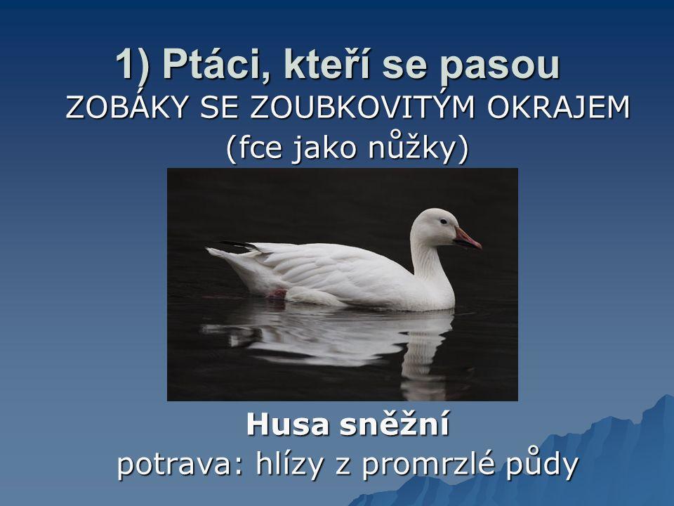 1) Ptáci, kteří se pasou ZOBÁKY SE ZOUBKOVITÝM OKRAJEM