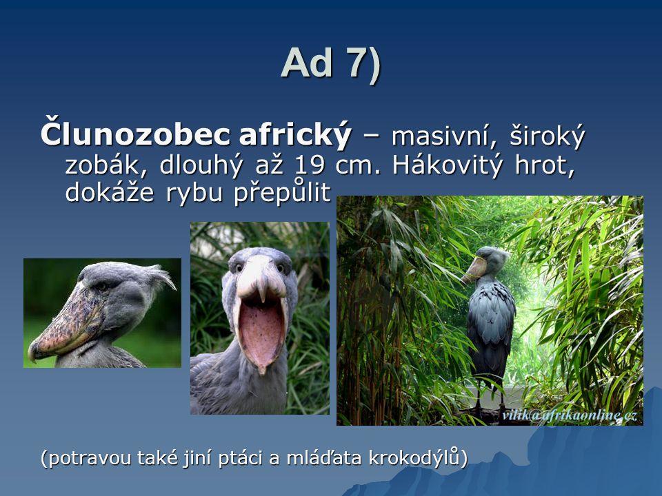Ad 7) Člunozobec africký – masivní, široký zobák, dlouhý až 19 cm. Hákovitý hrot, dokáže rybu přepůlit.