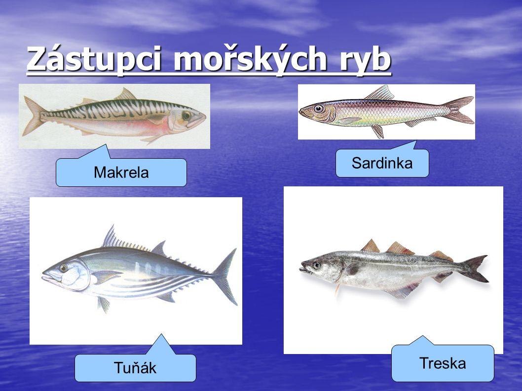 Zástupci mořských ryb Sardinka Makrela Treska Tuňák