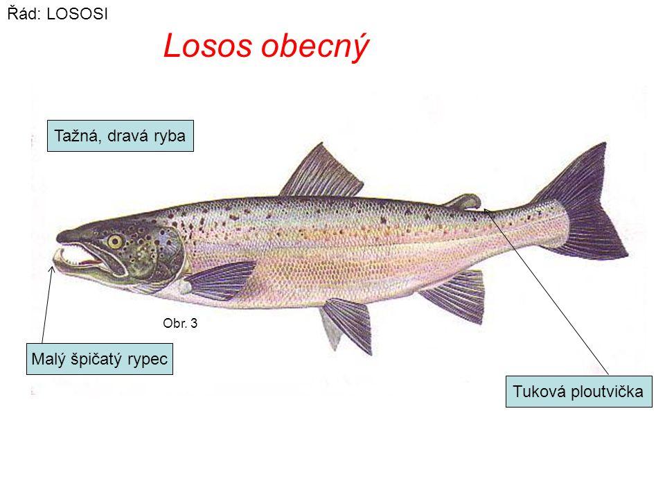 Losos obecný Řád: LOSOSI Tažná, dravá ryba Malý špičatý rypec