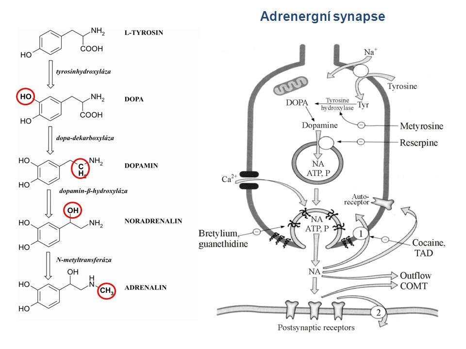 Adrenergní synapse