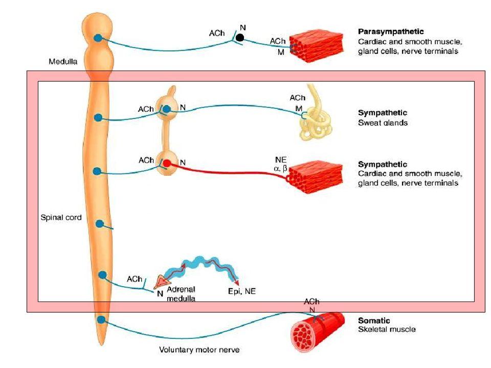 Působení na orgány (S) relaxace, motilita(2,2)