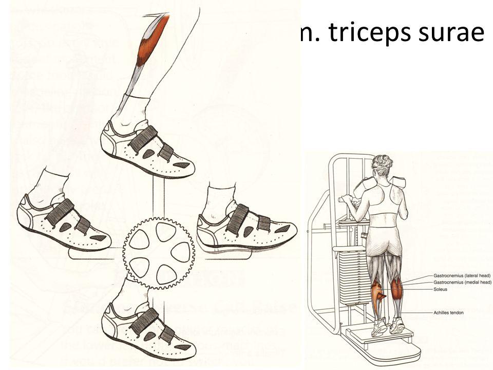 m. triceps surae