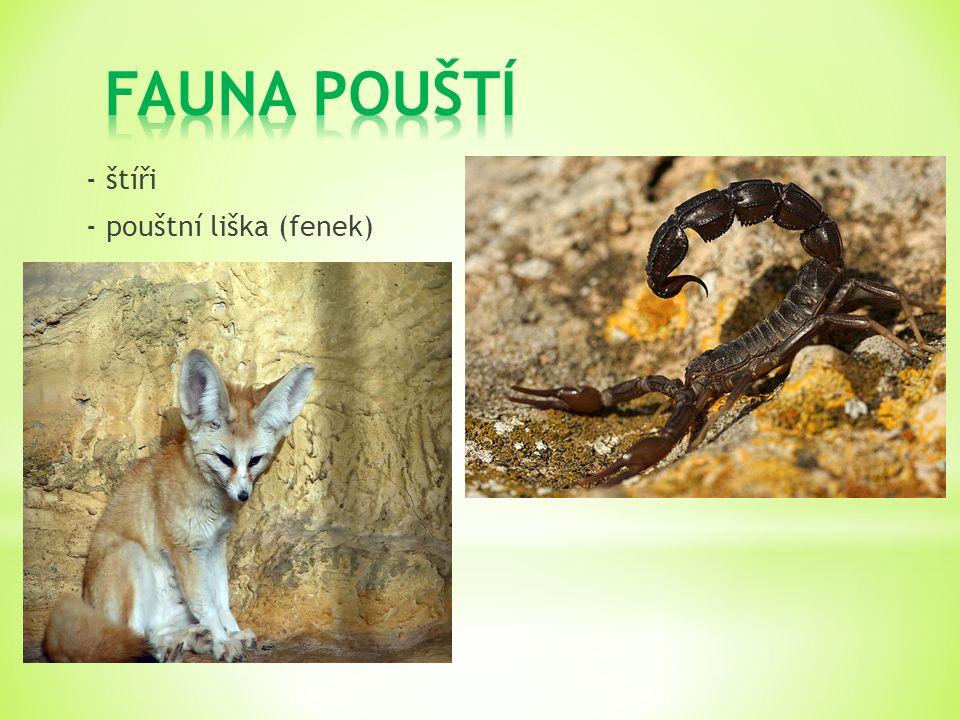 FAUNA POUŠTÍ - štíři - pouštní liška (fenek)