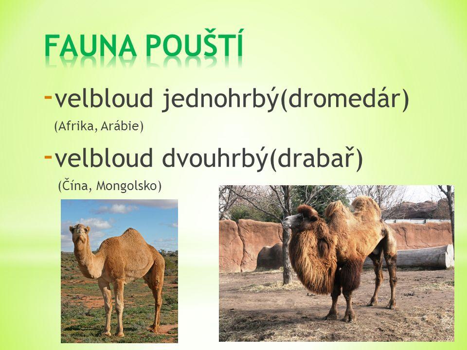 FAUNA POUŠTÍ velbloud jednohrbý(dromedár) velbloud dvouhrbý(drabař)