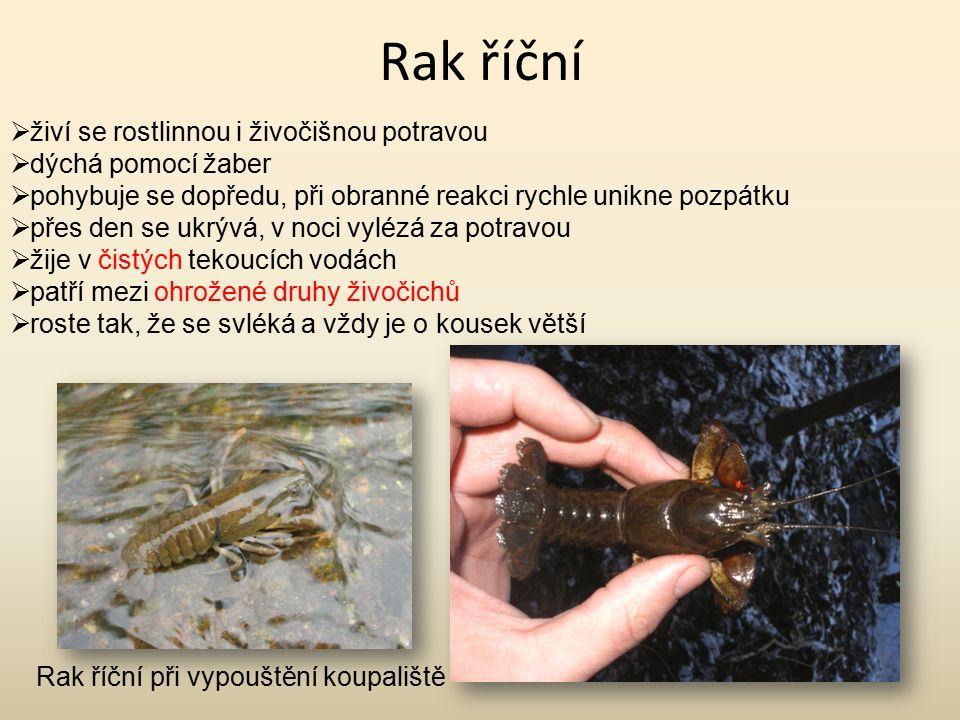 Rak říční živí se rostlinnou i živočišnou potravou dýchá pomocí žaber