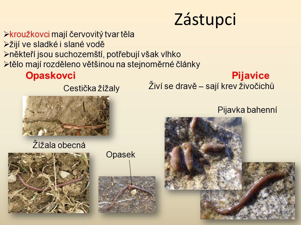 Zástupci Opaskovci Pijavice kroužkovci mají červovitý tvar těla