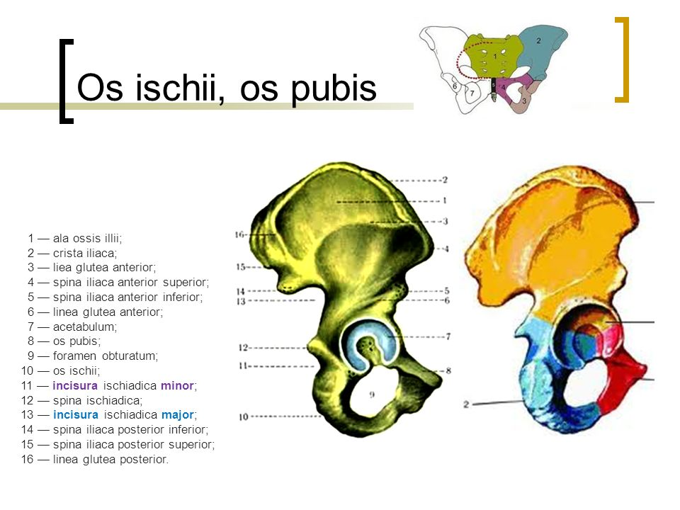 Os ischii, os pubis