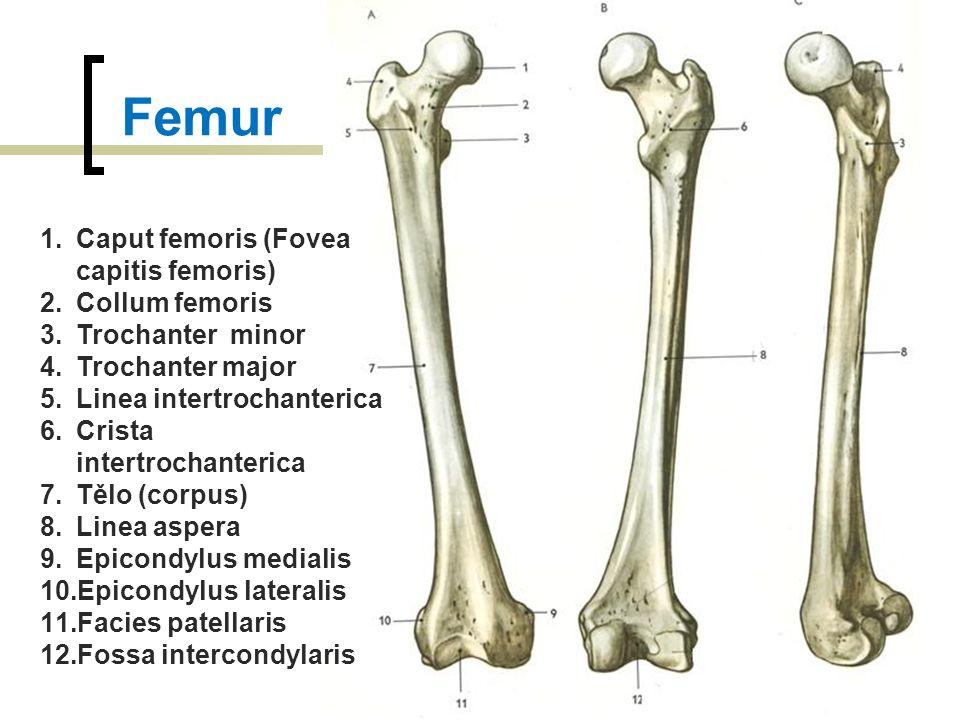 Femur Caput femoris (Fovea capitis femoris) Collum femoris