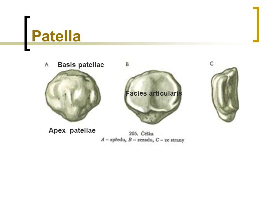 Patella Basis patellae Facies articularis Apex patellae