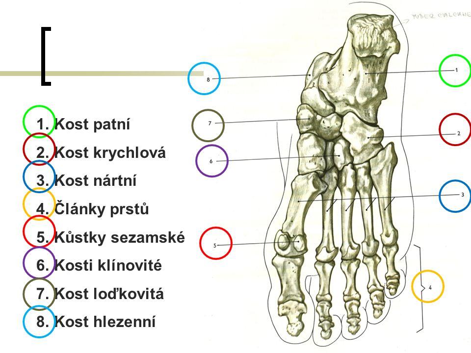 Kost patní Kost krychlová. Kost nártní. Články prstů. Kůstky sezamské. Kosti klínovité. Kost loďkovitá.