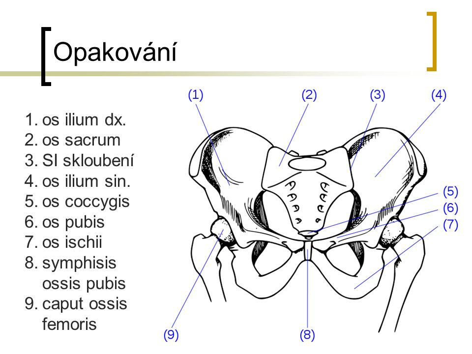 Opakování os ilium dx. os sacrum SI skloubení os ilium sin.