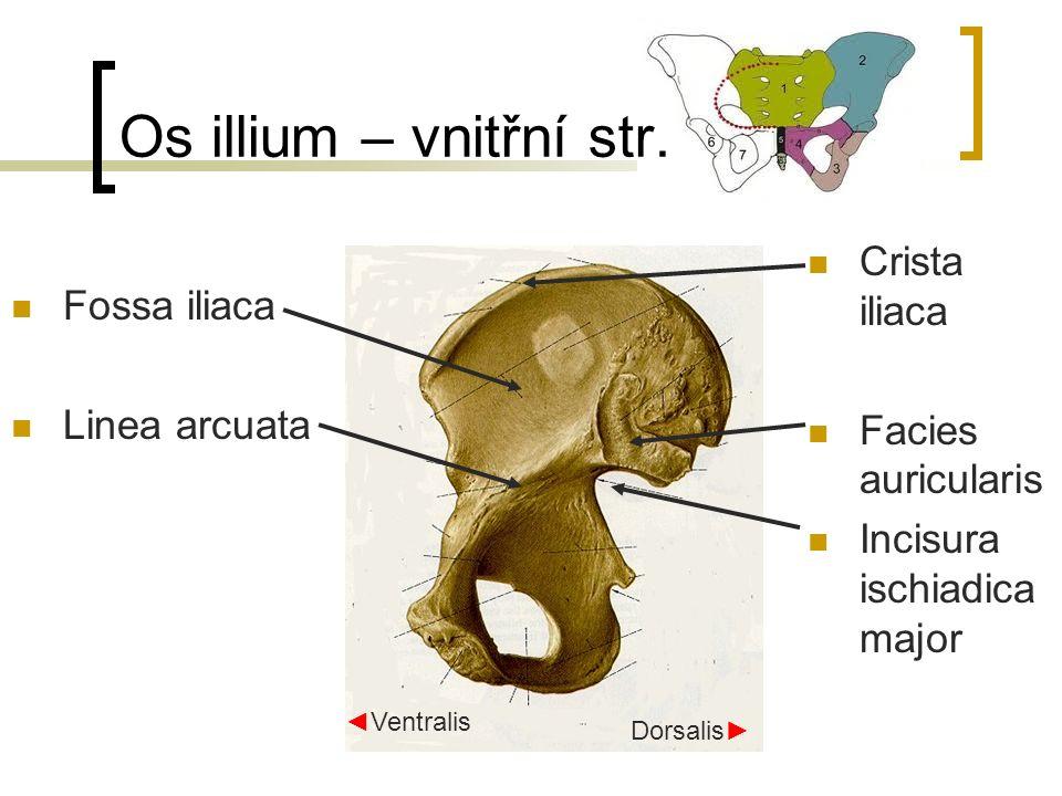 Os illium – vnitřní str. Crista iliaca Fossa iliaca Facies auricularis