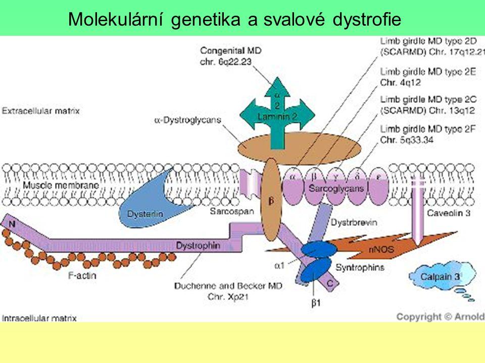 Molekulární genetika a svalové dystrofie