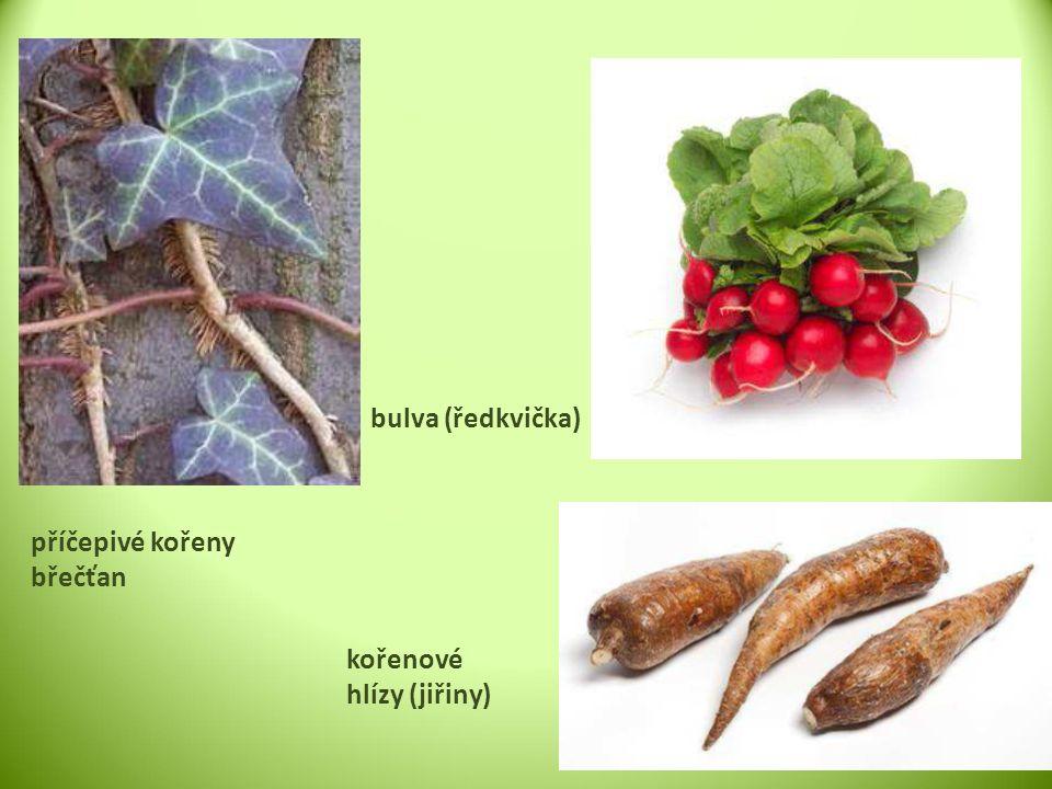 bulva (ředkvička) příčepivé kořeny břečťan kořenové hlízy (jiřiny)