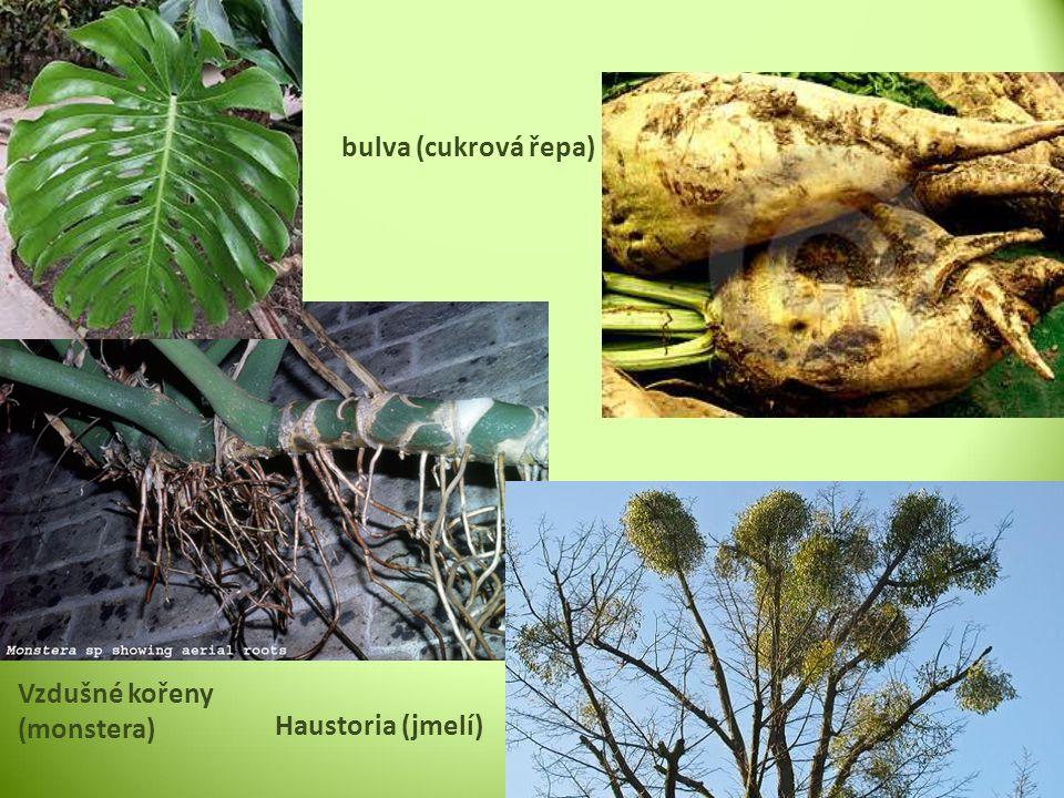 bulva (cukrová řepa) Vzdušné kořeny (monstera) Haustoria (jmelí)