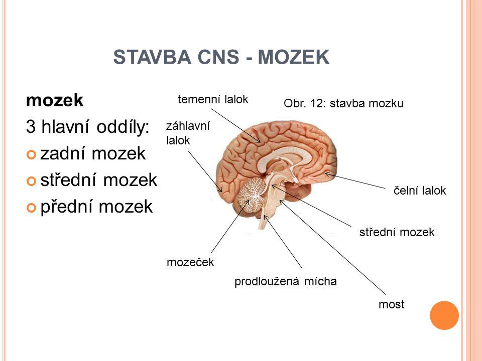 STAVBA CNS - MOZEK mozek 3 hlavní oddíly: zadní mozek střední mozek