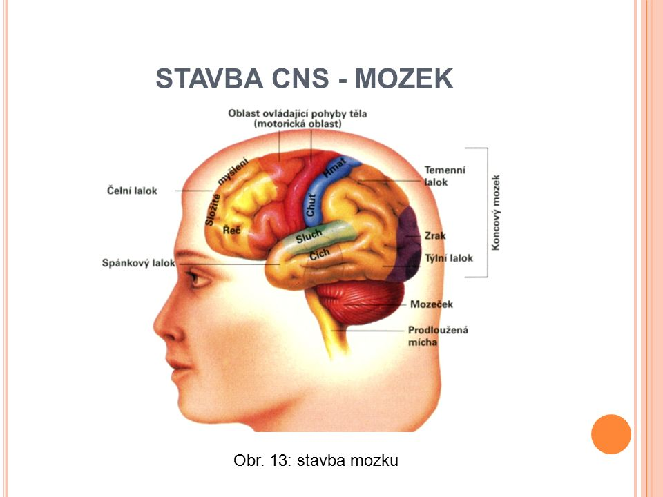 STAVBA CNS - MOZEK Obr. 13: stavba mozku