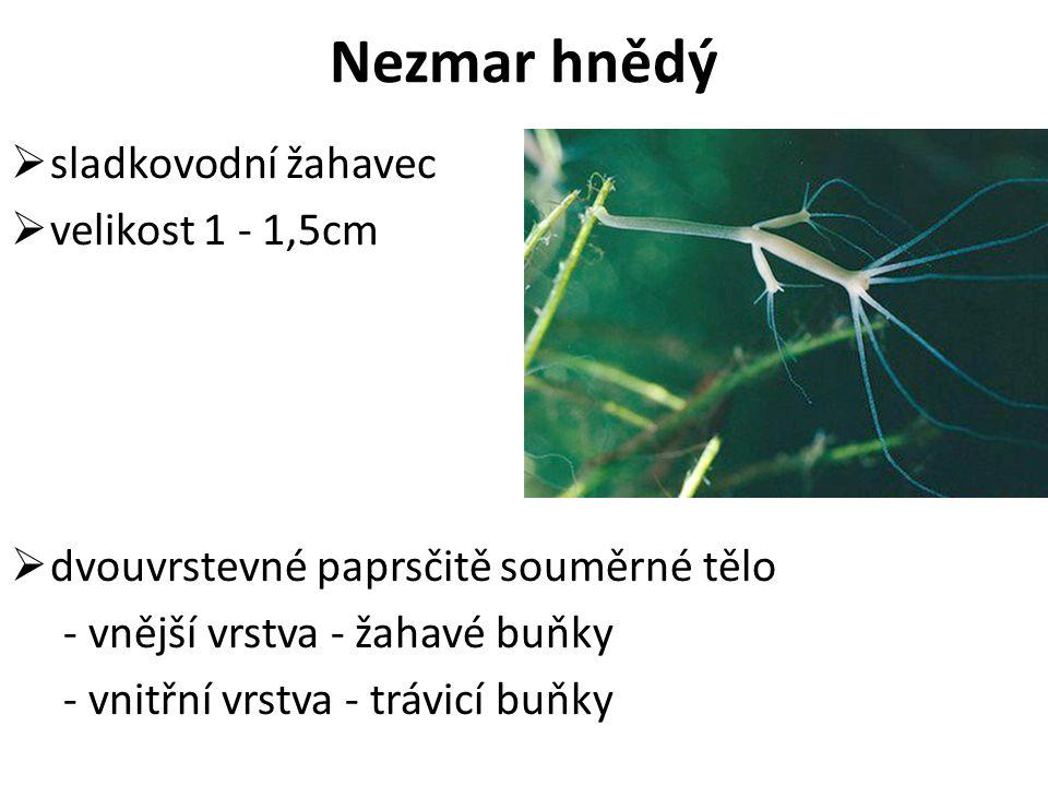 Nezmar hnědý sladkovodní žahavec velikost 1 - 1,5cm