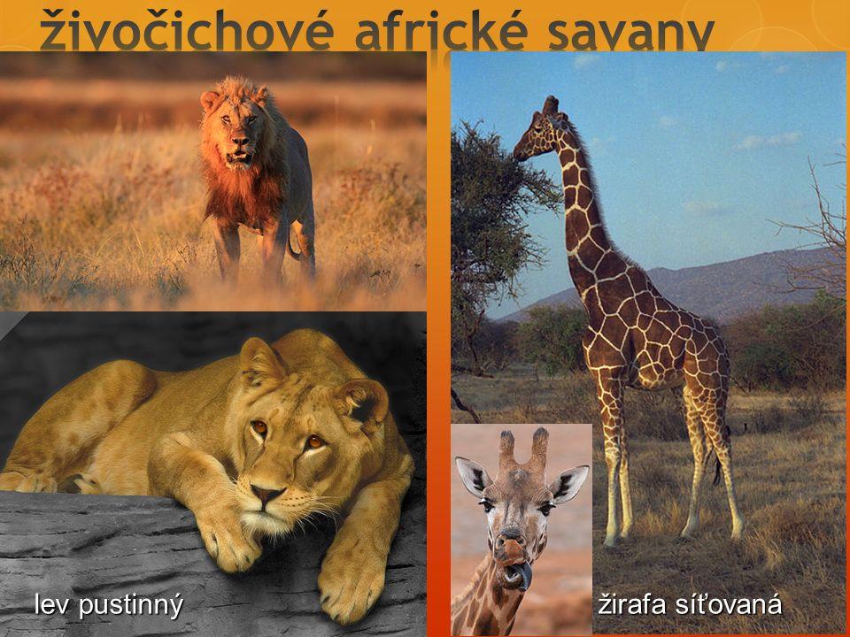 živočichové africké savany