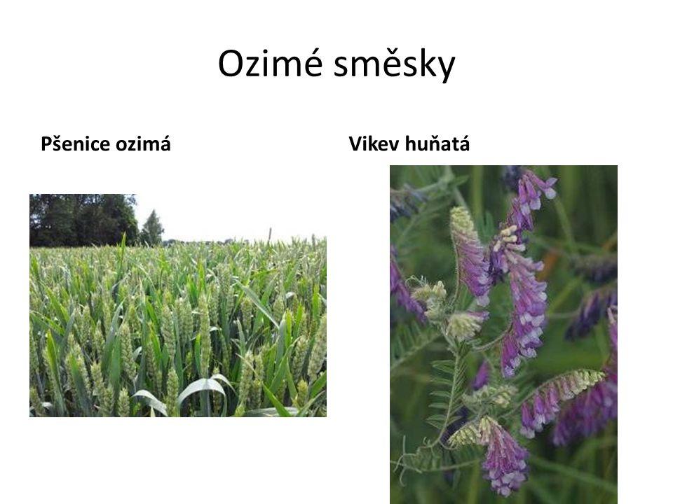 Ozimé směsky Pšenice ozimá Vikev huňatá