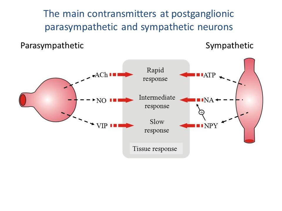 The main contransmitters at postganglionic parasympathetic and sympathetic neurons