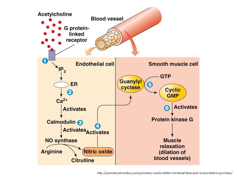Proteinkinaza G vede k sekvestraci kalcia do ER – jednak přímým vlivem na ER a hlavně uzavřením kalciových kanálu a vstupu Ca 2+ do buňky hladkého svalu