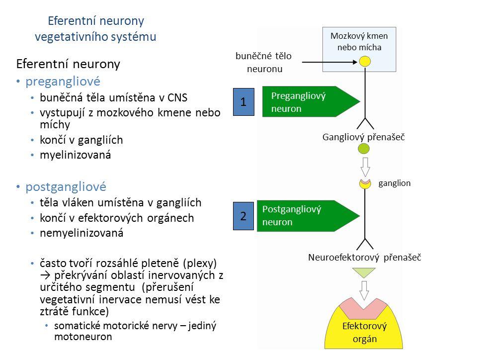 Eferentní neurony pregangliové postgangliové Eferentní neurony