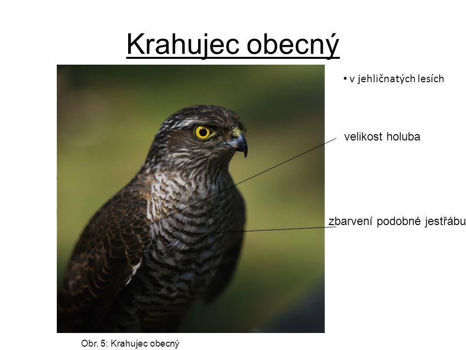 Krahujec obecný v jehličnatých lesích velikost holuba