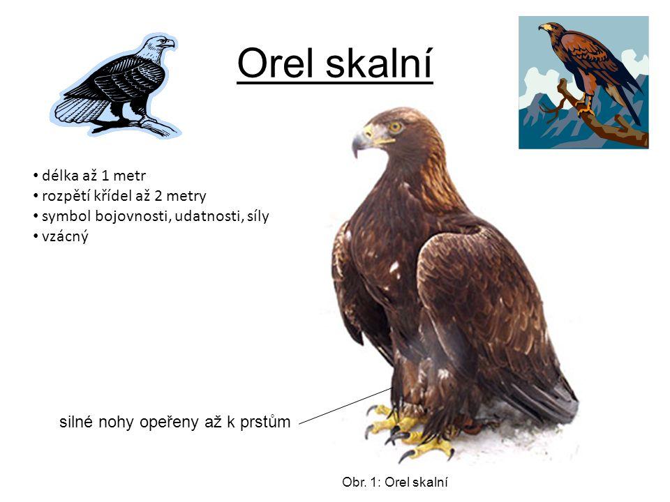 Orel skalní délka až 1 metr rozpětí křídel až 2 metry