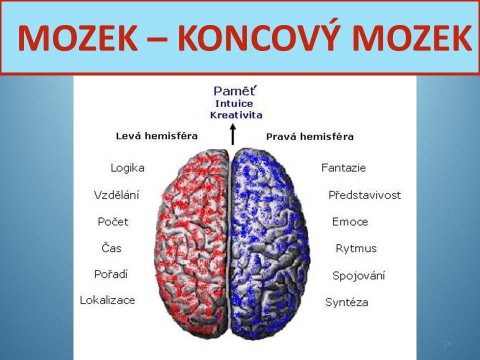 MOZEK – KONCOVÝ MOZEK Nervová soustava