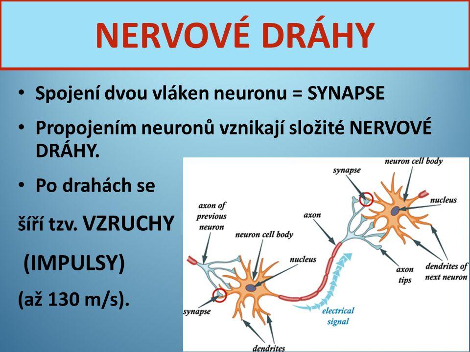 NERVOVÉ DRÁHY (IMPULSY) Spojení dvou vláken neuronu = SYNAPSE