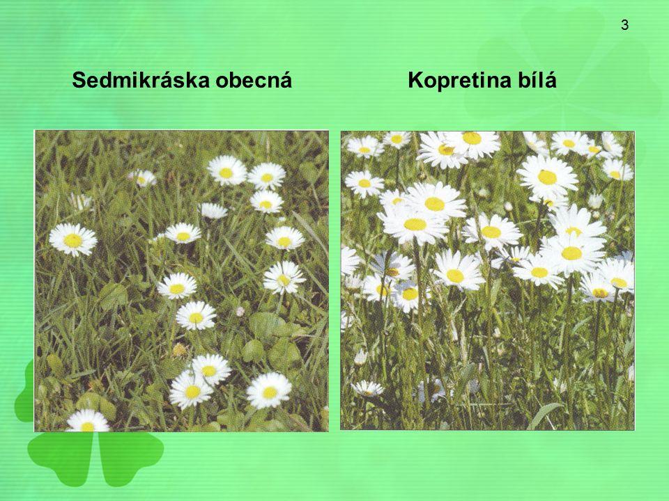 3 Sedmikráska obecná Kopretina bílá
