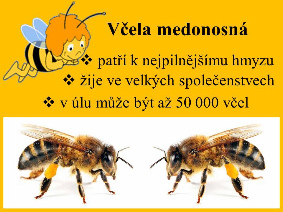Včela medonosná patří k nejpilnějšímu hmyzu