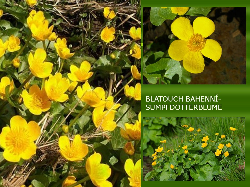 BLATOUCH BAHENNÍ- SUMPFDOTTERBLUME