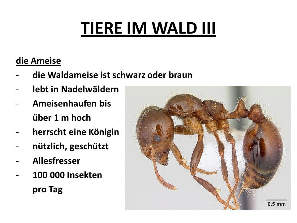 TIERE IM WALD III die Ameise die Waldameise ist schwarz oder braun
