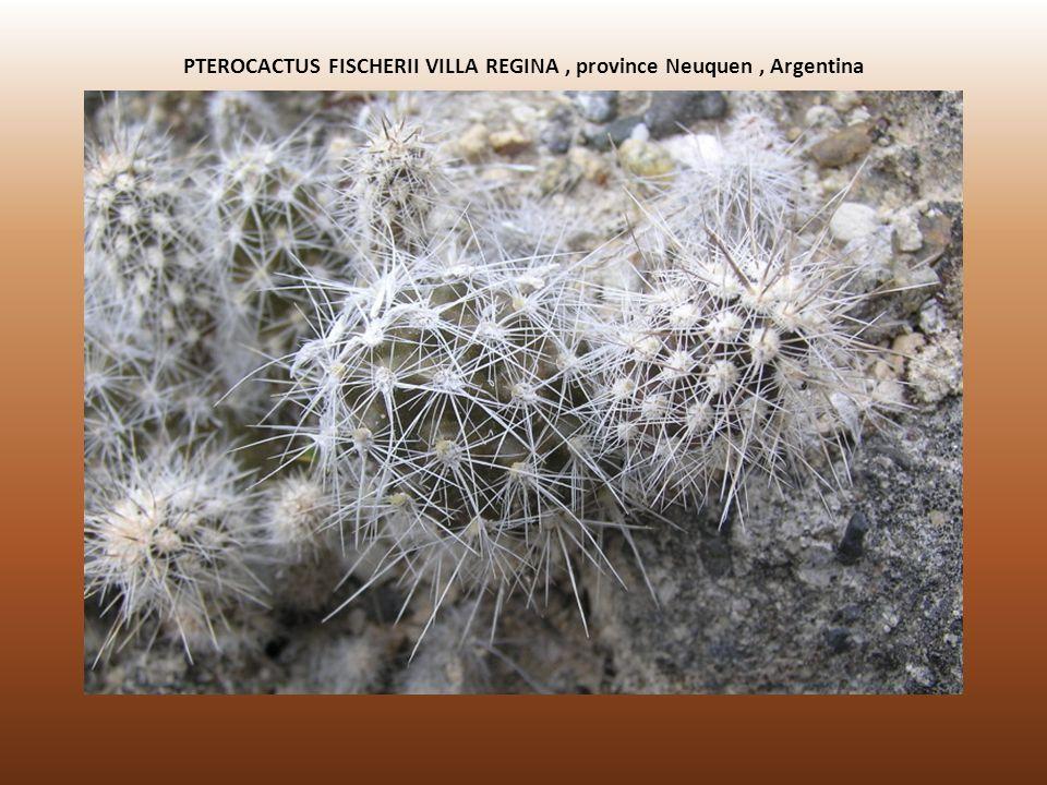 PTEROCACTUS FISCHERII VILLA REGINA , province Neuquen , Argentina