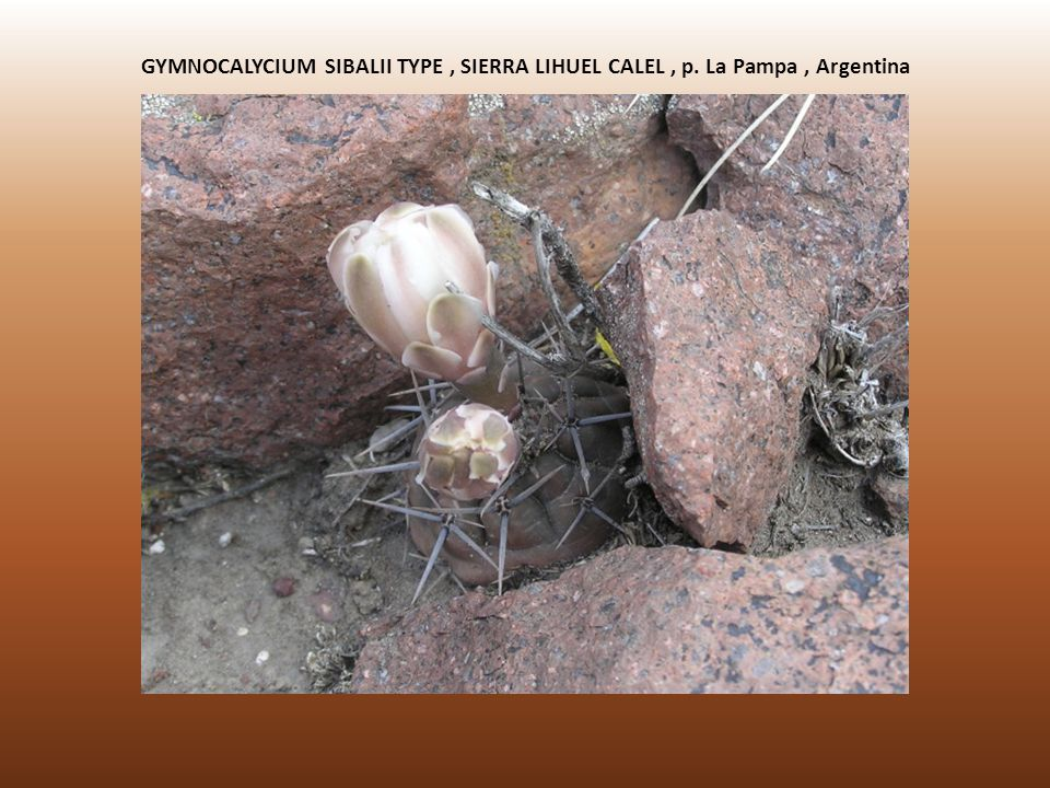 GYMNOCALYCIUM SIBALII TYPE , SIERRA LIHUEL CALEL , p