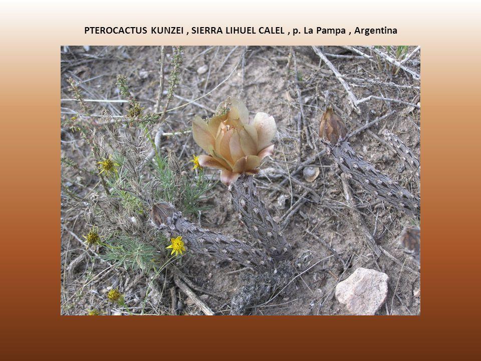 PTEROCACTUS KUNZEI , SIERRA LIHUEL CALEL , p. La Pampa , Argentina