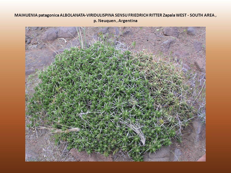 MAIHUENIA patagonica ALBOLANATA-VIRIDULISPINA SENSU FRIEDRICH RITTER Zapala WEST - SOUTH AREA , p.
