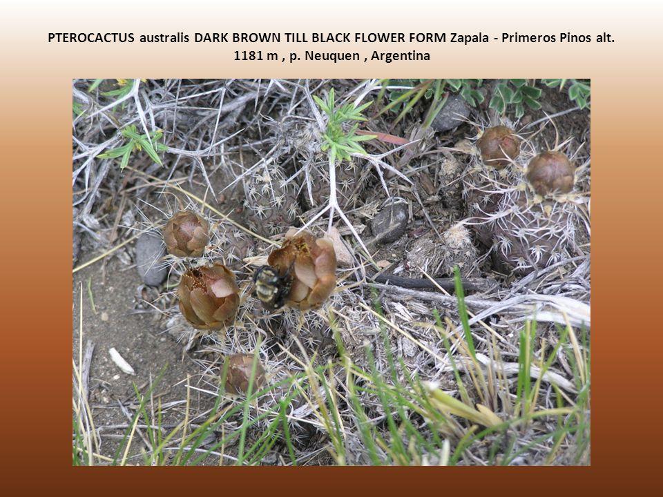 PTEROCACTUS australis DARK BROWN TILL BLACK FLOWER FORM Zapala - Primeros Pinos alt.