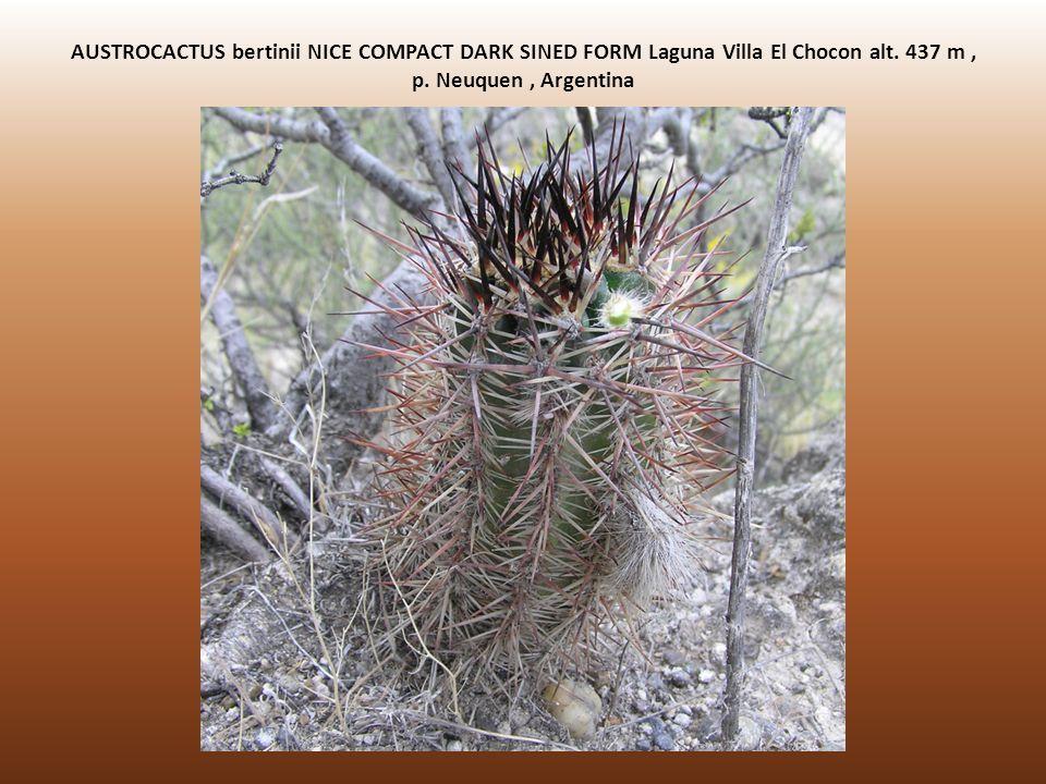 AUSTROCACTUS bertinii NICE COMPACT DARK SINED FORM Laguna Villa El Chocon alt.