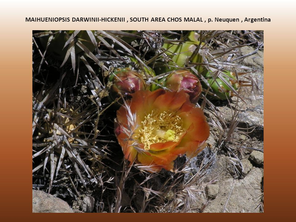 MAIHUENIOPSIS DARWINII-HICKENII , SOUTH AREA CHOS MALAL , p