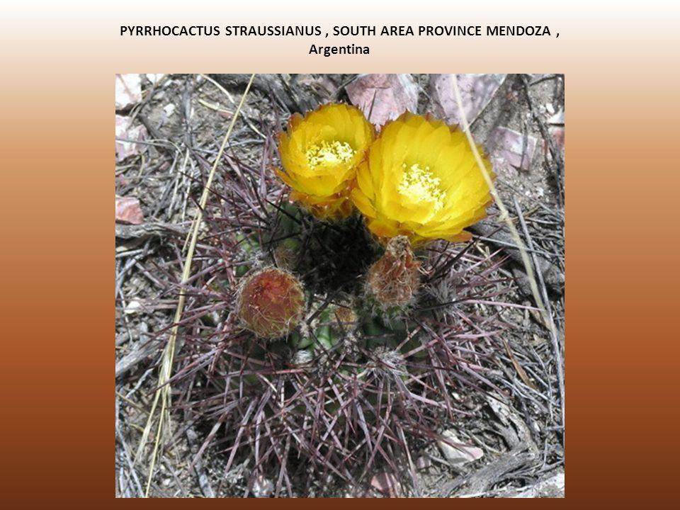 PYRRHOCACTUS STRAUSSIANUS , SOUTH AREA PROVINCE MENDOZA , Argentina