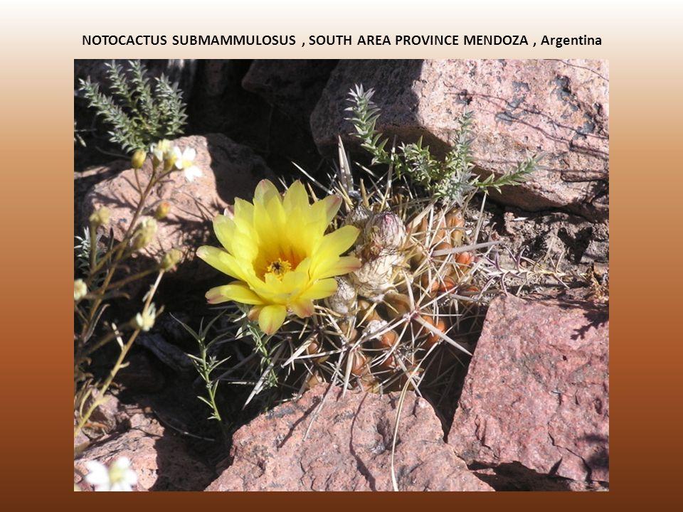NOTOCACTUS SUBMAMMULOSUS , SOUTH AREA PROVINCE MENDOZA , Argentina
