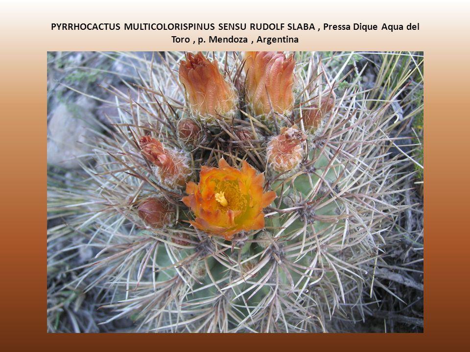 PYRRHOCACTUS MULTICOLORISPINUS SENSU RUDOLF SLABA , Pressa Dique Aqua del Toro , p.