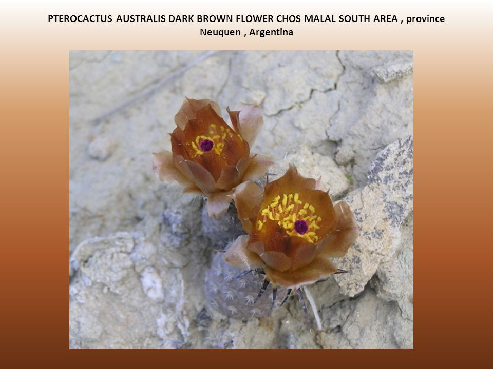 PTEROCACTUS AUSTRALIS DARK BROWN FLOWER CHOS MALAL SOUTH AREA , province Neuquen , Argentina