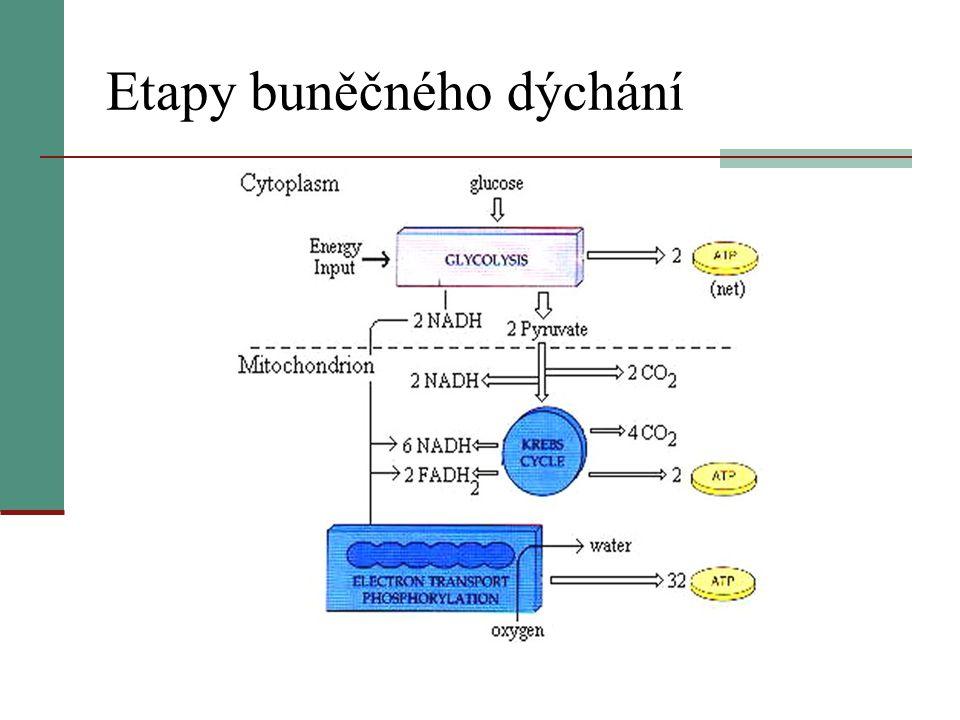 Etapy buněčného dýchání